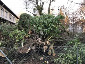 Neubau des Verwaltungsgebäudes: Baumfällungen